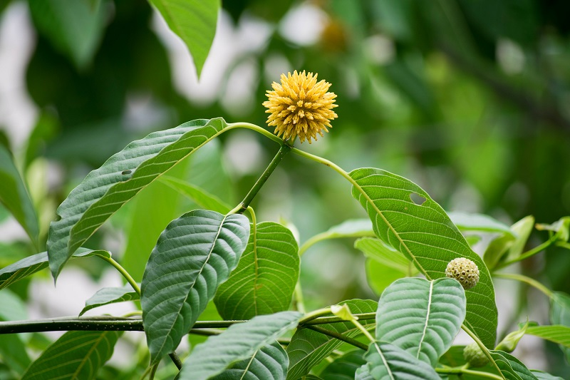 Can Mitragyna Speciosa Work as a Natural Appetite Suppressant?